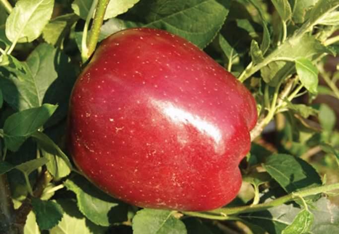 Плоды сорта «Старкримсон» выше средней величины, однако имеют недостаточную одномерность